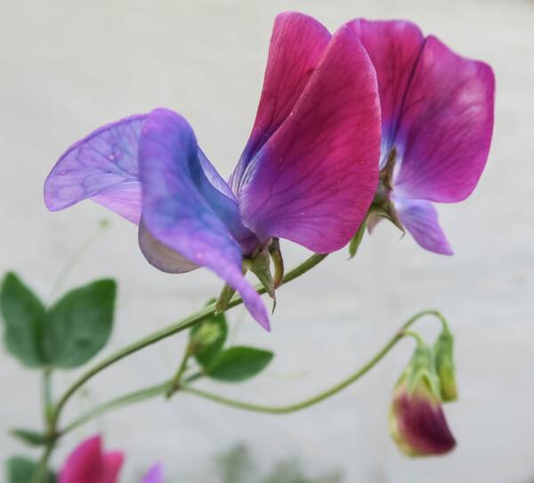 Luktärten Blue Shift  har ett fantastiskt färgspel som skiftar från lila till blått.