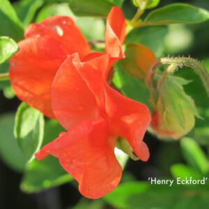 Luktärten Henry Eckford är intensivt orange, en mycket ovanlig och spännande färg som gör sig bra i kombination med många andra.