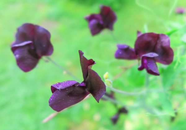 Luktärten Almost Black har svag doft, men är väldigt läcker.
