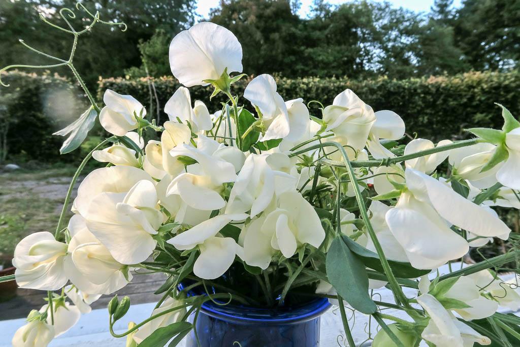 Luktärten Dorothy Eckford blommar länge och doftar väldigt gott.