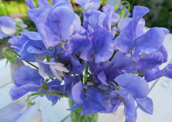 Luktärten Flora Norton är blåklocksblå  eller blekt himmelsblå.