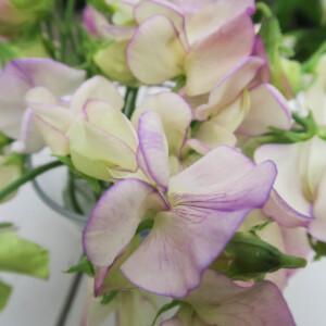 Luktärten High Scent har cremevita och blekt lila volanger med stark doft.