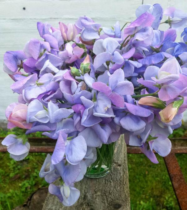 Luktärten Lady Grisel Hamilton är rosigt lavendelfärgad och går över mot blått.