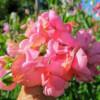 Luktärten Miss Willmott är djupt korallrosa som går mot rent rosa.