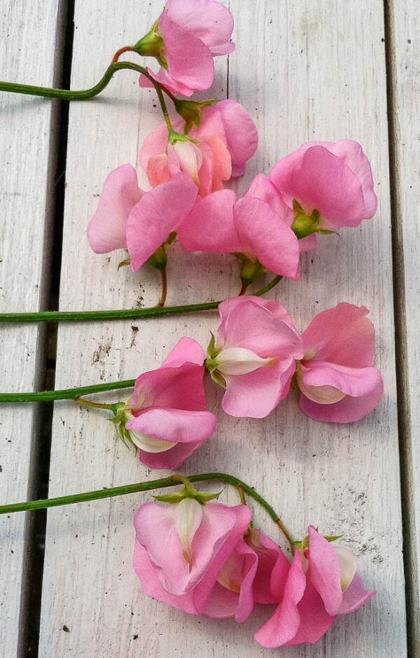 Luktärten Miss Willmott har en doft med inslag av rosor.