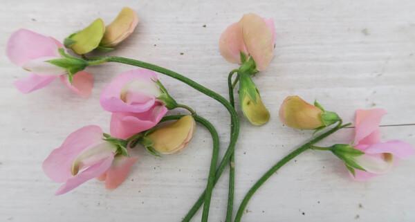 Luktärten Prima Donna är pärlemorrosa med svagt bisquifärgade knoppar.