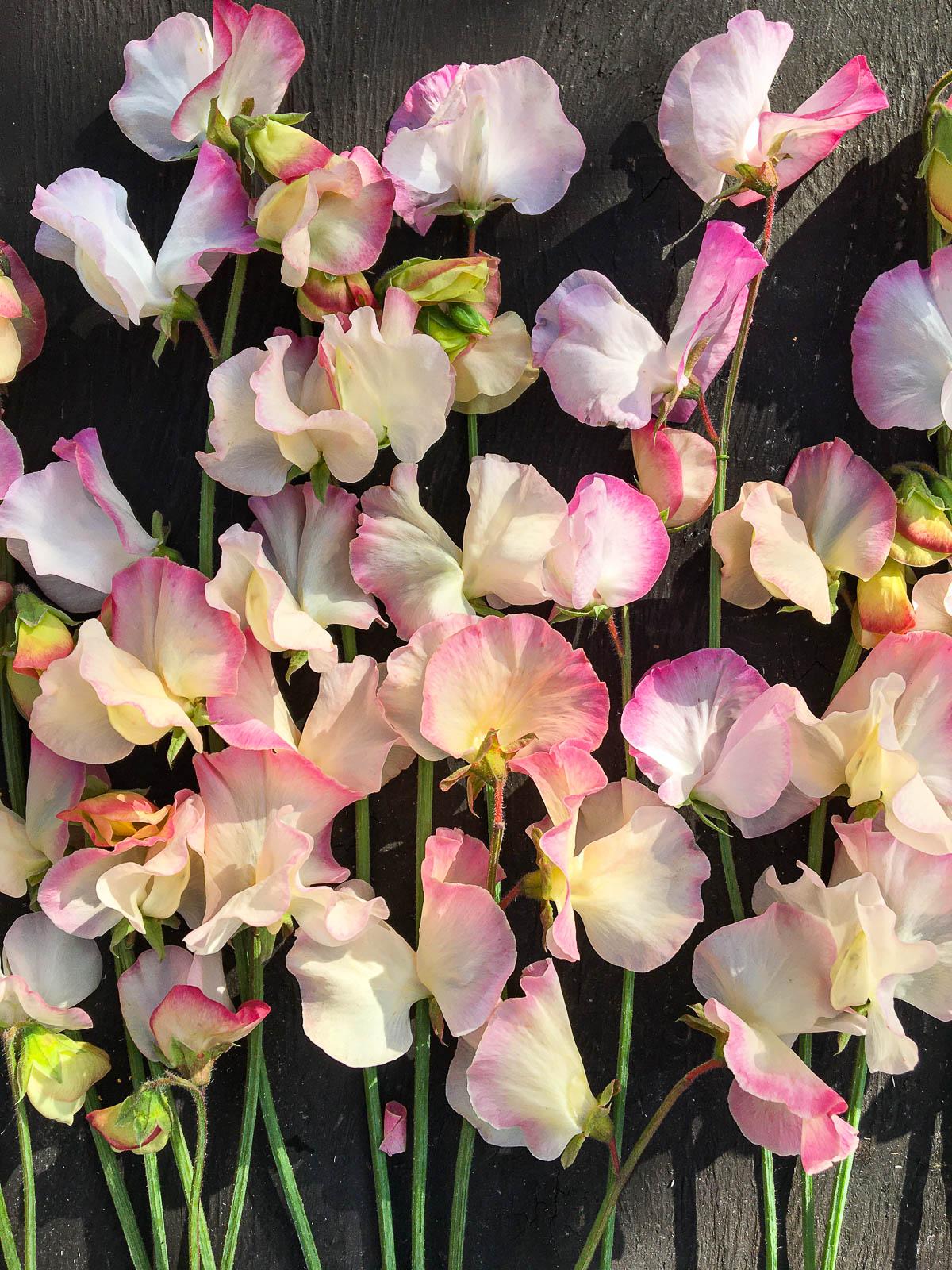 Luktärten Rosy Frills.
