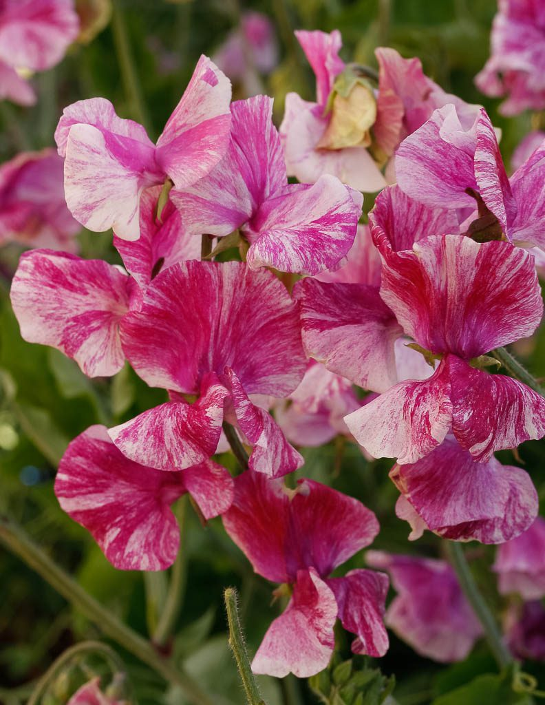 På Vår Trädgård kan du köpa fröer till luktärten Pandemonium.