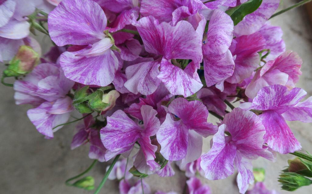 Blomstersafari säljer bl.a. luktärten Pandemonium