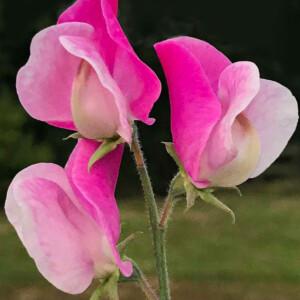 Luktärten Sicilian Pink.
