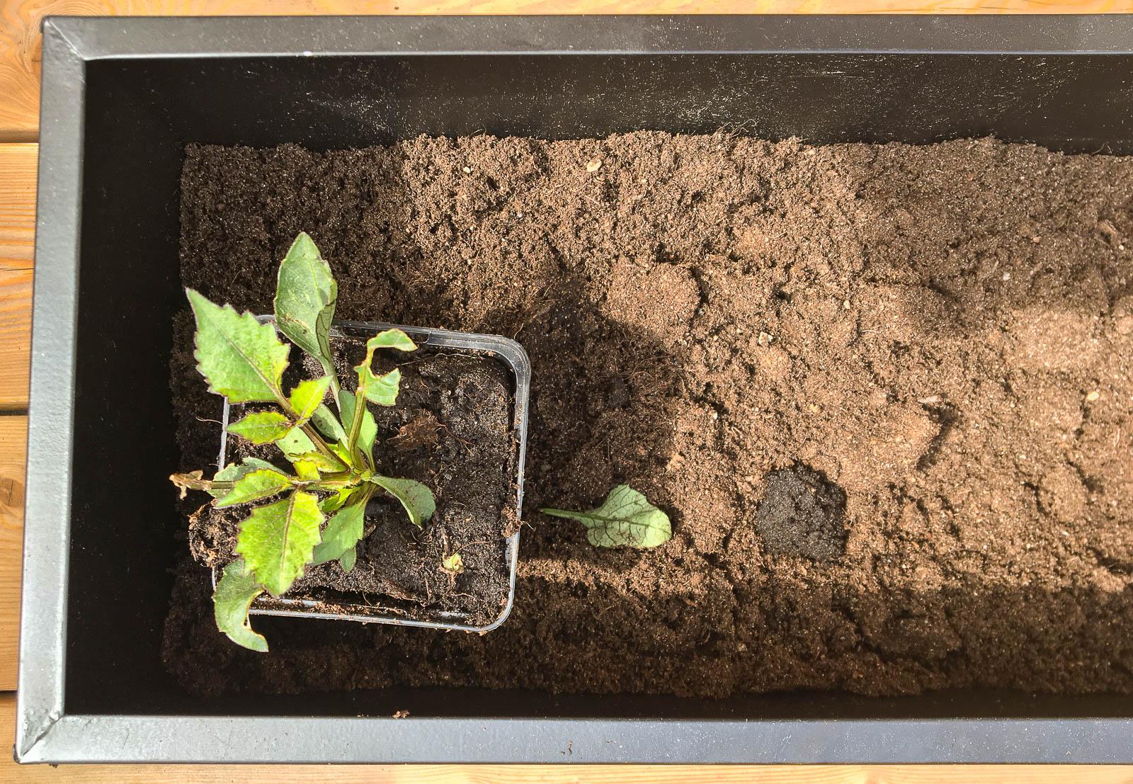 Fyll en större behållare med välgödslad planteringsjord. Och se till att växterna har rejält stora krukor att bo i.