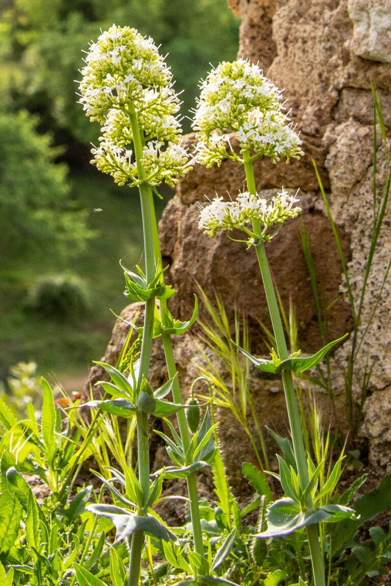 Vit pipört, Centranthus ruber 'Albus' klarar torka på grund av sin pålrot.