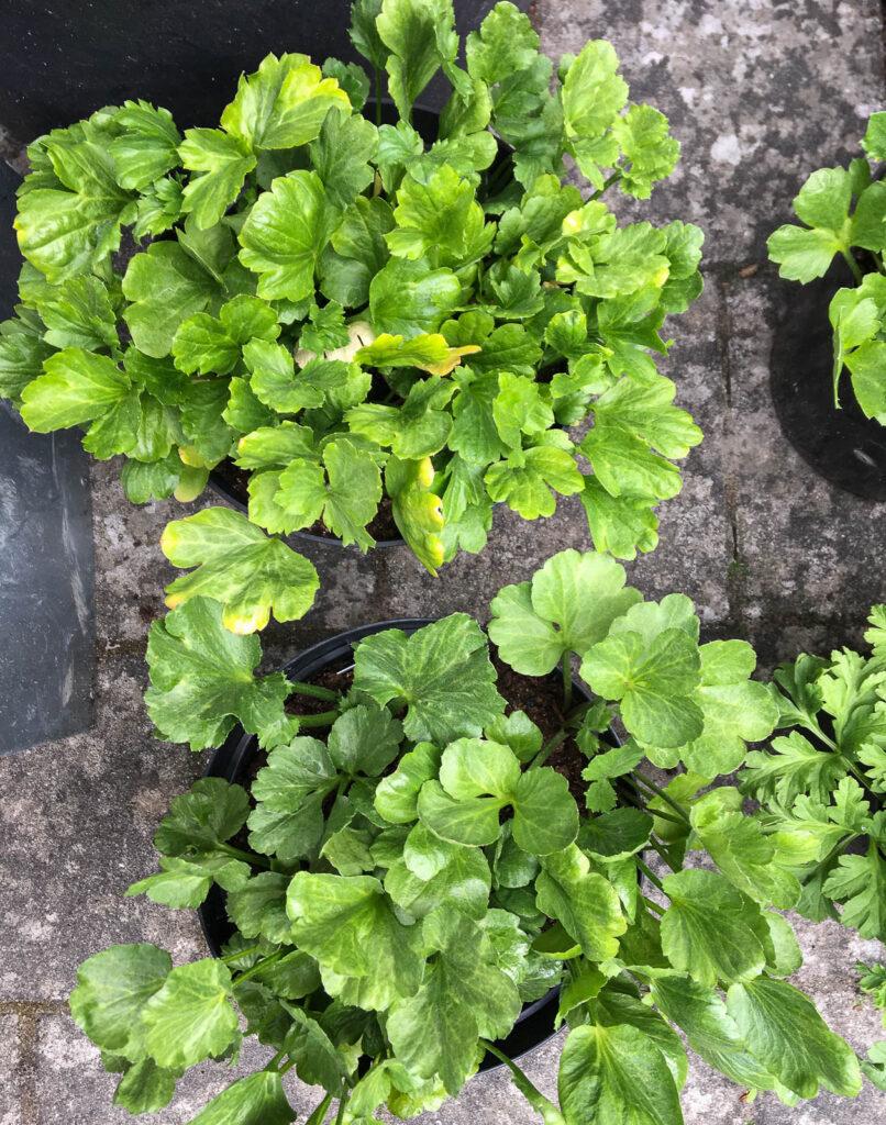 Ranunkler har ett vackert bladverk. När du odlar på liten yta är det viktigt att alla växter är snygga under lång tid.