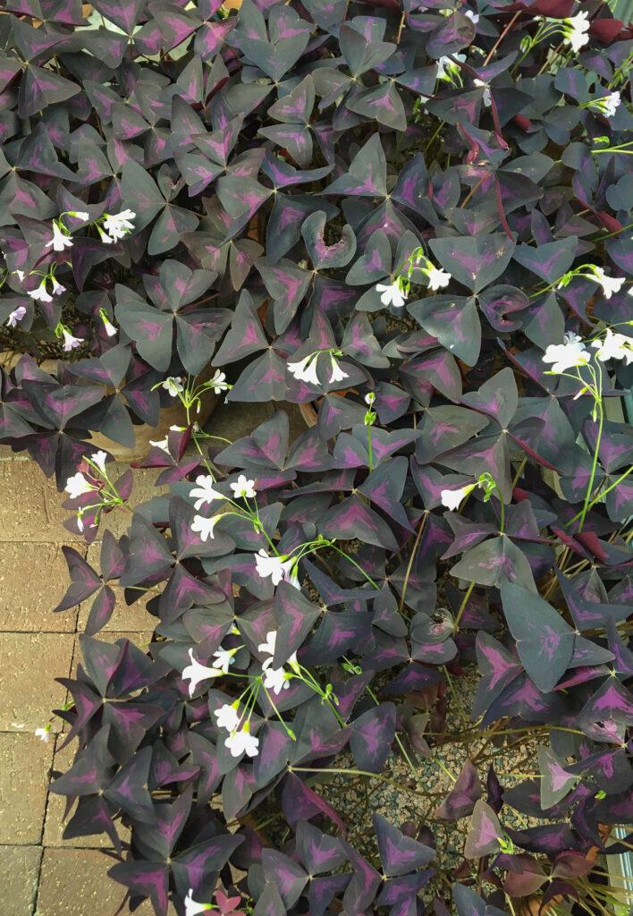 Triangeloxalis är vanlig att hitta där växter säljs.