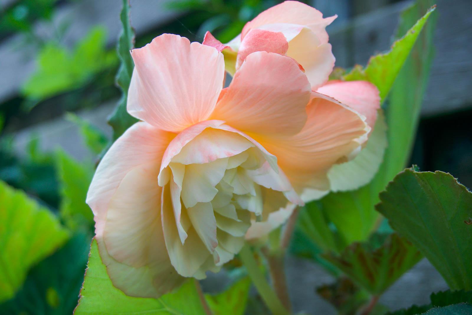 Begonia odorata Sunny Dream får väldigt stora blommor.