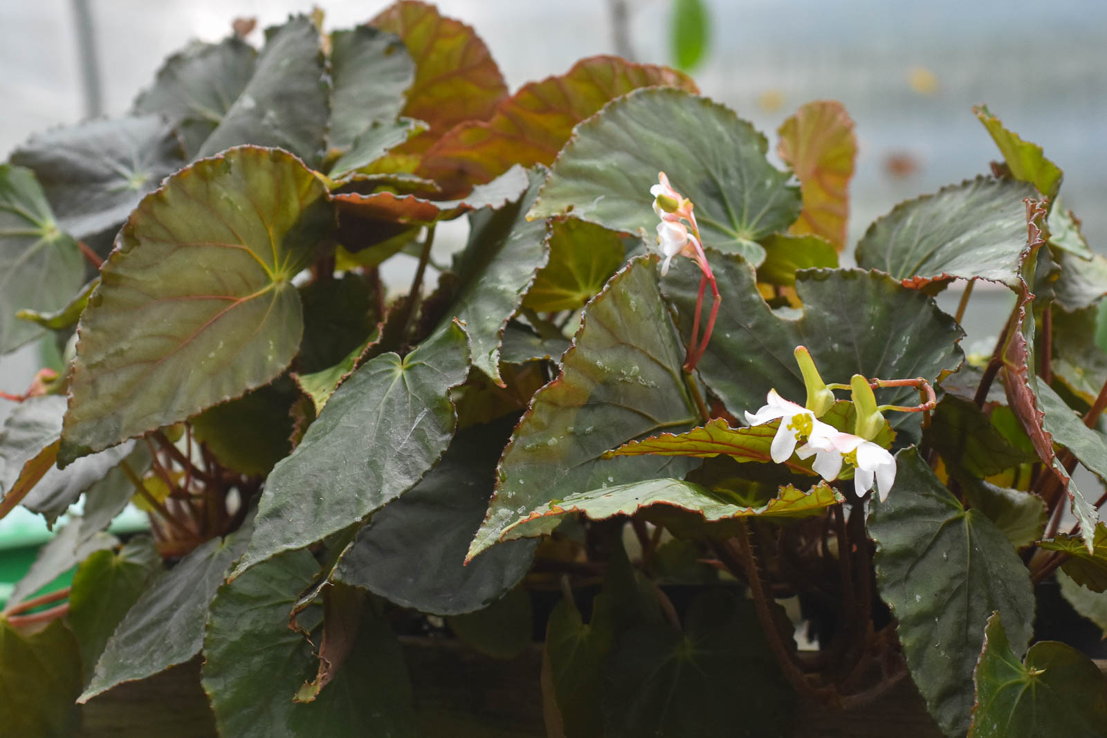 Begonia Dicressine lever på högre höjd än Mariachristiae och kan kanske bli en bra rumsväxt till skillnad från mariachristinae som kräver mer av sin odlare. Begonia dicressine blommar mest på vintern och är lite marktäckande.
