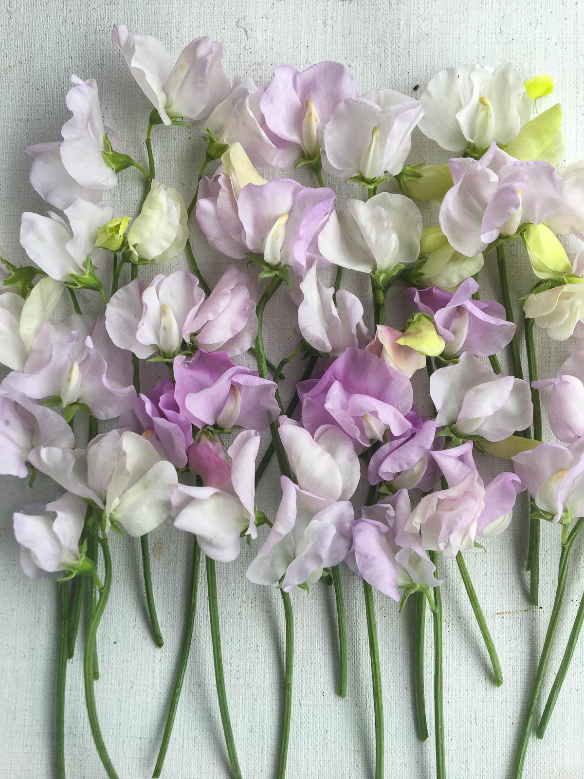 Jag är lite svag för luktärten 'Percy Throwers' blekt violetta fluff.