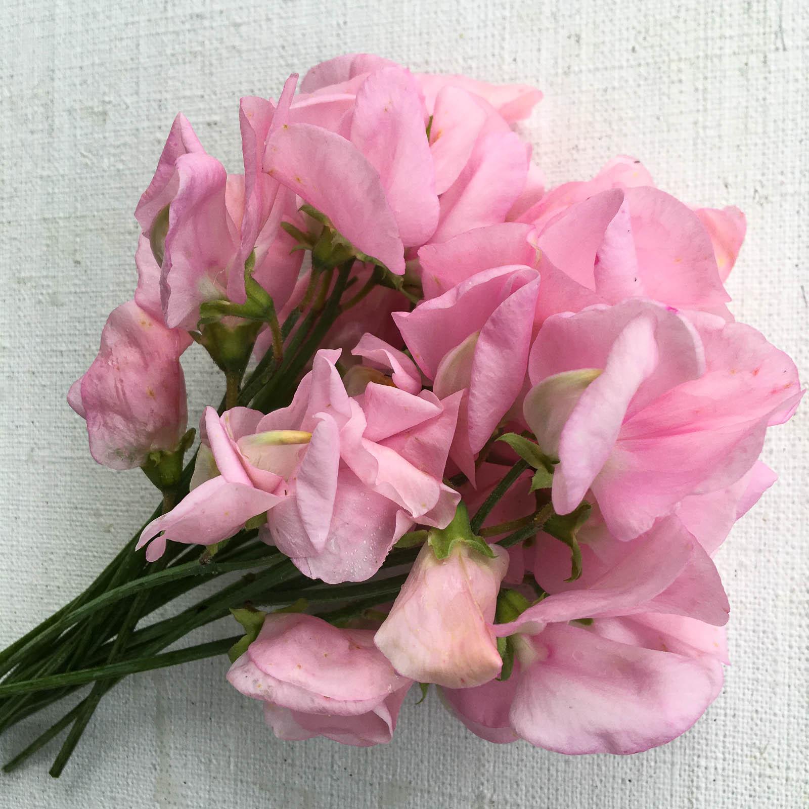 Luktärten 'Wretham Pink' är en av de allra sötaste gamla sorterna. Dessvärre finns det ingen produktion av den här sorten.