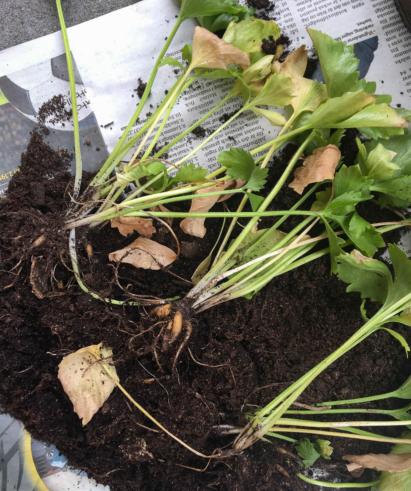 Ranunkelröterna ville inte blomma hos mig heller. Det har antingen varit för varmt, för kallt, för torrt eller för vått. Nu tar jag upp rötterna och lägger dem på tork till nästa säsong.