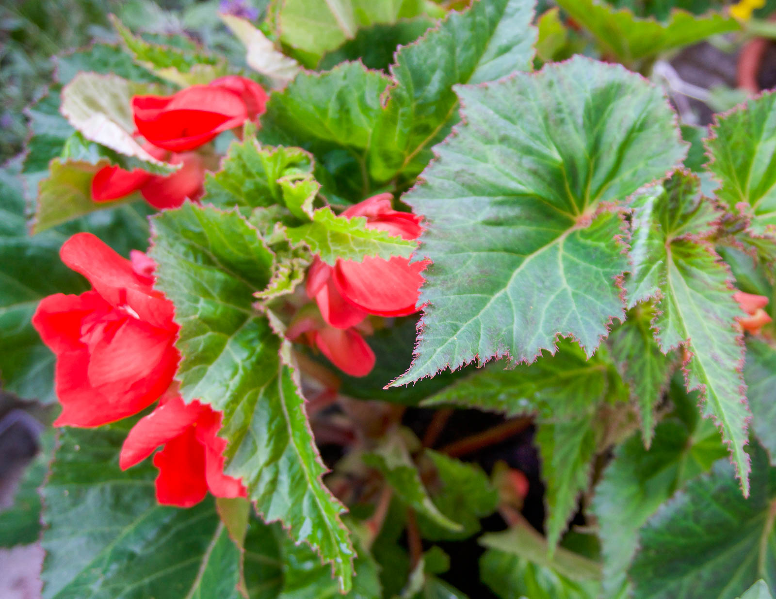 Begonia pendula Röd.