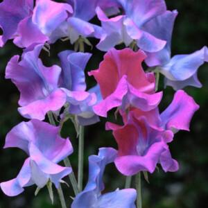 Luktärten Blue Shift skiftar färg från lila till knallblått och blir jättehög, nästan 3 meter.